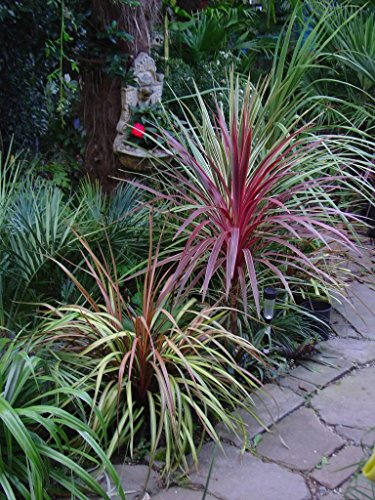 Lila Palmlilie - Yucca Aloifolia Purpurea - 30-40cm Topf Ø 18cm
