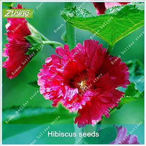 ZLKING 100 Pcs rares rouge rose fleur d'hibiscus Bonsai graines naturelles à croissance rapide Plantes à fleurs exotiques Pot Stand 1