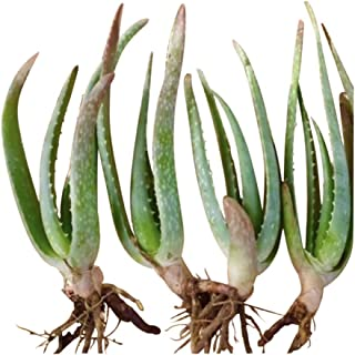 """RAGARDEN Baby Aloe Vera Plants (4 Plants in Package, Size 4""""x6"""" Plus-Height, Bare- Rooted). Grown in Nevada,USA."""