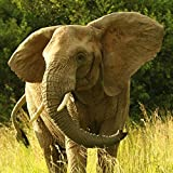 Alu-Dibondbild Hady Khandani - ELEPHANT - SQUARE PORTRAIT 1 - 40 x 40cm - Premiumqualität - HADYPHOTO, Fotografie, Photografie, Natur, Tiere, Afrika, Elefant, Gras - MADE IN GERMANY - ART-GALERIE-SHOPde