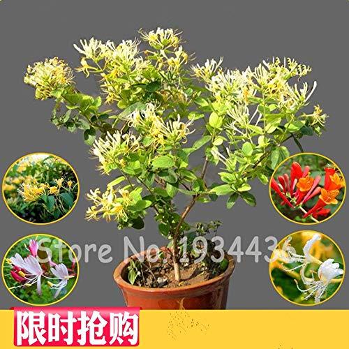 Ferry 200Pcs Rare Honeysuckle Kletterbaum Bonsai Pflanze Tee Chinesischer Garten Blume Lonicera Japonica Fiori da giardino: 50 Stück