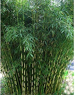 Best fargesia bamboo seeds Reviews