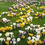 Van Zyverden Crocus Large Flowering Blend Set...