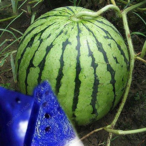 30PCS Multicolor pastèque géant Graines pastèque Graines fruits bio Graines de légumes New variétés végétales pour le jardin à la maison rouge
