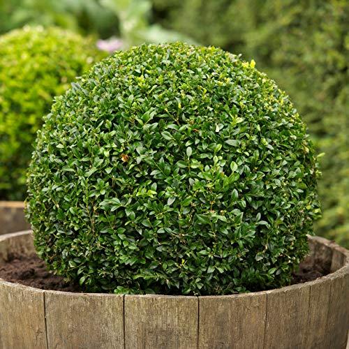 Buch4Land - Boxwood, Buxus sempervirens, 30 Seeds, (Hardy Evergreen, Topiary, Hedge, Bonsai) | Gardern, Yard, Home, Bonsai, Spring