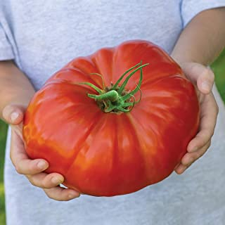 Burpee Exclusive 'SteakHouse' Hybrid | Large Red Beefsteak Slicing 1-3lbs Tomato | 25 Seeds