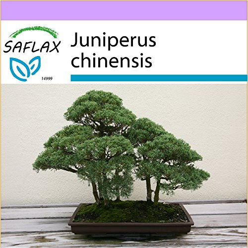 SAFLAX - Enebro de la China - 30 semillas - Juniperus