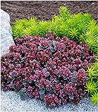 BALDUR Garten Sedum Sun Sparkler® Sedoro Blue Elf, 2 Pflanzen...