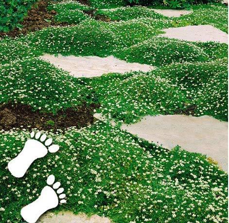 Tomasa Samen- 100er Sternmoos (Sagina subulata), Bodendecker Rasensamen immergrün Ziergras Mischung Kräuter Pflanze winterhart mehrjährig (100pcs)