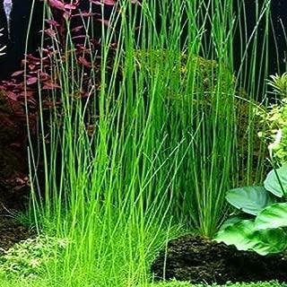 Best aquarium onion plants for sale Reviews