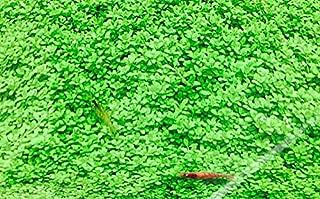 イイ水草市場 キューバパールグラス 5cm×5cm 栄養素付 無農薬 前景草