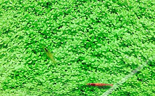 イイ水草市場 キューバパールグラス 5cm*5cm 無農薬 前景草