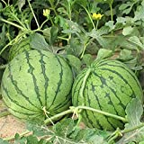 30 Pezzi Semi di anguria Frutta rossa succosa senza semi Frutta da vite all'aperto Verde Decora il giardino Purifica l'ambiente Fattoria familiare fai-da te
