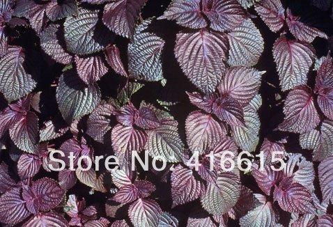 100 PURPLE GRAINES CLOVE de BASILIC * HERBES OCIMUM de basilicum * ont une belle CLOVE / MINT SCENT et est parfait pour cuisson, THES