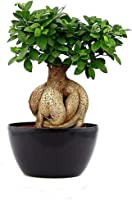 Abana Homes Ginseng Grafted Ficus Indoor Real Bonsai Live Plants - 5 Year Old