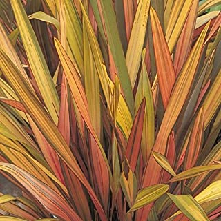 30 PHORMIUM SEEDS New Zealand Flax RAINBOW STRIPED HYBRIDS,Ornamental Grass