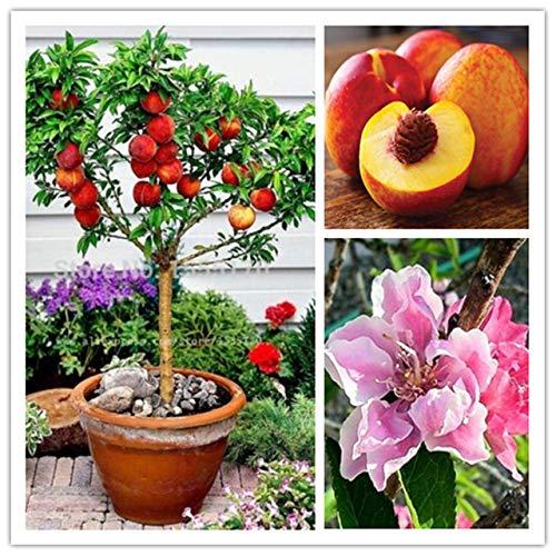 Shopmeeko 2 Stück süße Pfirsich Pflanze, Pfirsich Baum Pflanze, Zwerg Bonanza Pfirsiche, Bonsai Obstpflanze für Hausgarten Pflanzen