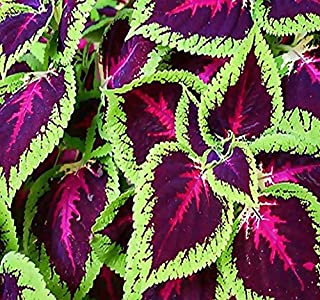 BIG PACK - (10,000+) COLEUS blumei Rainbow Mix - Flower Seeds By MySeeds.Co (Big Pack - Coleus Rainbow Mix)
