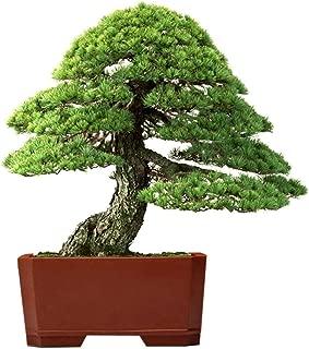 Lioder 20Pcs Utah Juniper Bonsai Tree Taxus Cuspidata Zelkova Serrata Bonsai Tree (Juniperus osteosperma) Cypress Seeds