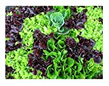 David's Garden Seeds Lettuce Mix Mesclun SL3223 (Green) 500 Non-GMO, Heirloom Seeds