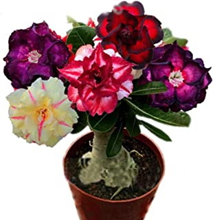 QHYDZ Garden-50pcs Semillas Flores Rosa del Desierto Adenium obesum, Rara Perenne Resisten a la Sequía Planta Ornamental para Maceta Jardin Balcon