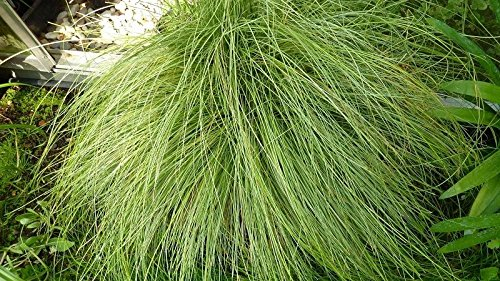 200 graines fraîches - Carex Amazon Mist Graines graminée