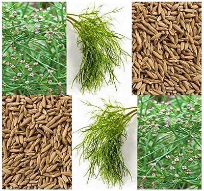 150 Cumin Herb Seeds ~ Cuminum Cyminum ~ Next to Black Pepper in Popularity ~