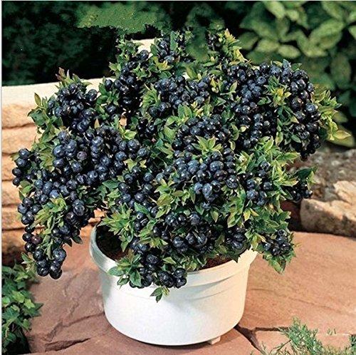 100 piezas de fruta semillas de semillas Blueberry Negro perla arándanos bricolaje countyard Bonsai plantas Semillas para el hogar y el jardín 100 semillas 49%