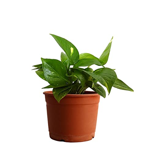 Rolling Nature Money Plant Hybrid Indoor Plant