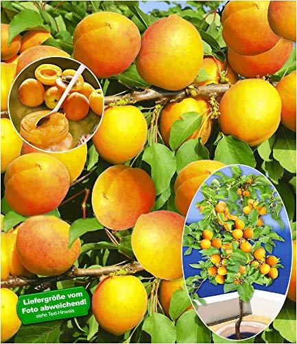 BALDUR-Garten Aprikosen 'Compacta Super Compact®', 1 Pflanze, Aprikosenbaum, Prunus armeniaca