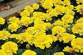 FRENCH MARIGOLD PETITE YELLOW - 400 seeds - Tagetes Patula nana ANNUAL FLOWER