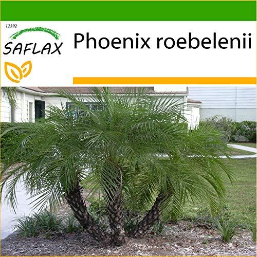 SAFLAX - Palmera datilera enana - 25 semillas - Con sustrato estéril para cultivo - Phoenix roebelenii