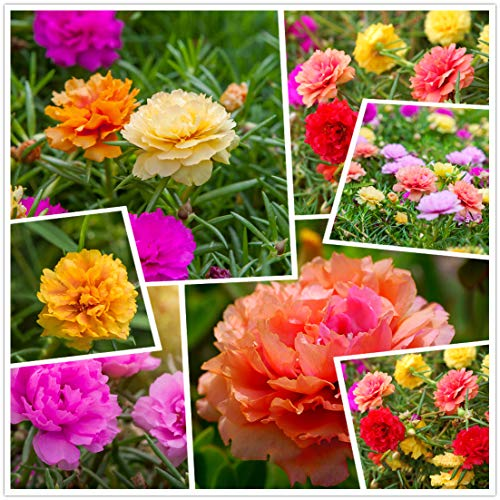 hua xian zi, Moss Rose (Portulaca Grandiflora) Colori misti 10000+ semi freschi