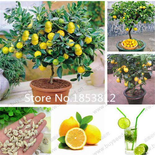 Multi-Colored : Sale!200Piece 16 Colors Lemon Seeds 2016 New Garden Flowers Four Season Sowing World Rare Flower Seeds For Garden