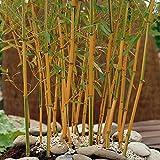 YouGarden Phyllostachys Aureosulcata Aureocaulis, 5 Litre, Yellow Bamboo