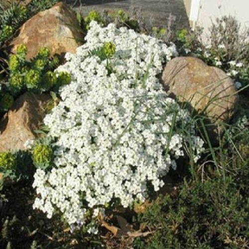Creeping Thyme Samen oder Blue Rock Kressesamen - Blumensamen Staude Bodendecker-Garten-Dekoration Blumen-40Pcs T11 Weiß Thymian