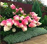 50 semillas de vainilla fresa hortensia de flores para plantar en maceta o planta fácil de cultivar semillas de flores como bonsái o árbol