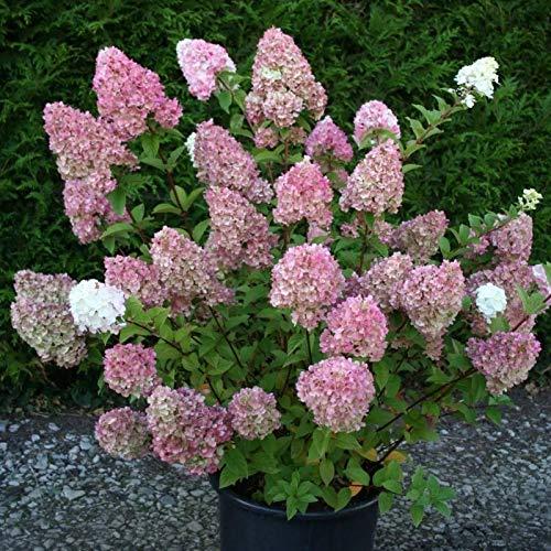 XQxiqi689sy 1 Bolsa De Semillas De Hortensias, Fáciles De Cultivar, Ligeras Y Hermosas, Accesorios Para Fotos De Semillas De Flores Semillas de hortensias
