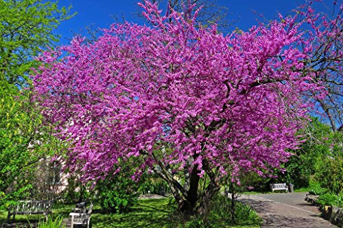Portal Cool Judas Tree - Cercis siliquastrum - 30 + - Heirloom graines!
