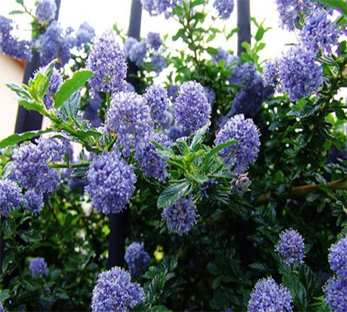 30 Deerbrush Ceanothus (integerrimus Ceanothus) semi fragrante/Albero CombSH