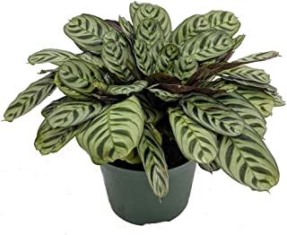 Best calathea burle marx Reviews