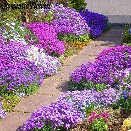 Felsen-Kresse, Aubrieta Cascade Lila Blumensamen, rehsicher Superb Perennial Bodendecker, Blumensamen für 100Particles / Bag