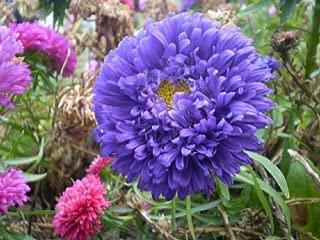 100 gram Seeds Callistephus chinensis China Aster Blue Purple Matsumoto Flower