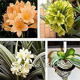 graines de Clivia, expédition gratuits pas cher graines de Clivia, les graines en pot, Bonsai balcon fleur - 100 pcs / sac