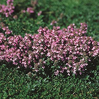 magic carpet lemon thyme