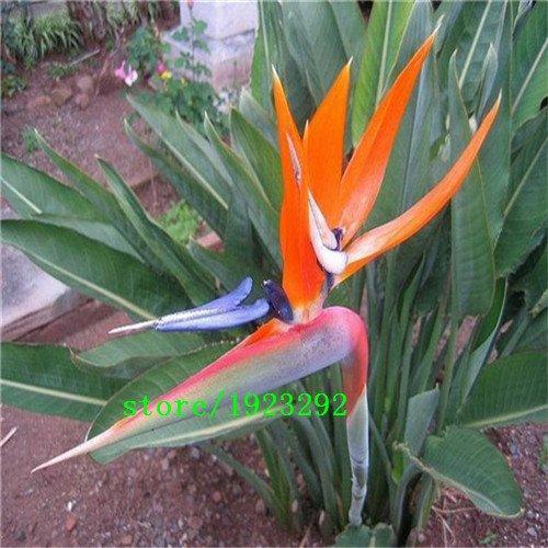 Strelitzia reginae semillas macetas de flores plantadores Todas las clases de color híbrido de ave del paraíso Bonsai plantas Semillas 100pcs