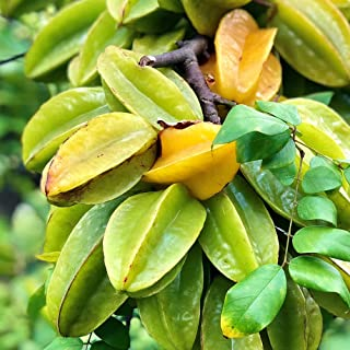 スターフルーツの苗木 13.5cmポット【品種で選べる果樹苗/接木苗/1個売り】果実の断面が星型になる珍しいフルーツ! 実は熟すと緑色から淡黄色に変化します。シャリシャリ食感で、熟すと甘酸っぱく皮が薄いので、生食やジュース、ジャムやゼリー、砂糖...