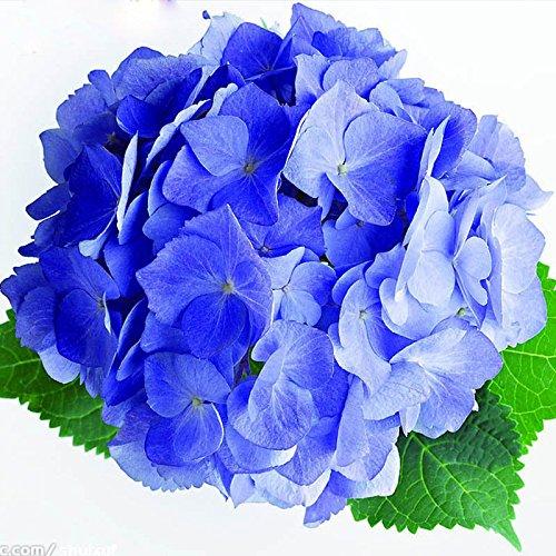 Hot Sale Rare hortensia bleu Graines balcon Bonsai Fort Viburnum Hydrangea macrophylla Bonsai Fleur Plante Graines 120PCS