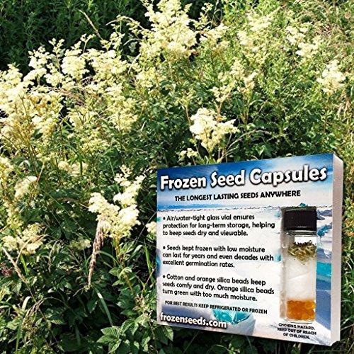Meadowsweet Seeds (Filipendula ulmaria) 10+ Rare Medicinal Herb Seeds