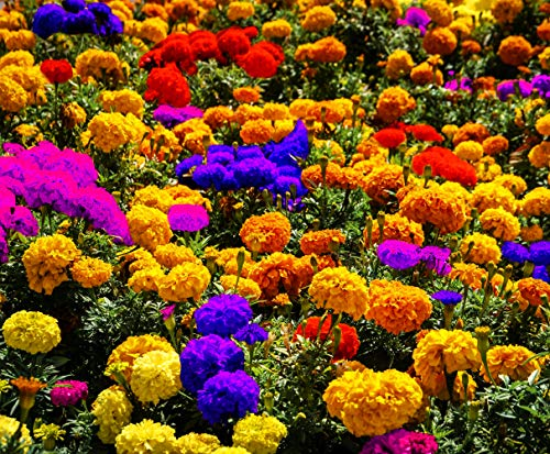 100 Pcs Mixed African Marigold Seeds Flower to Plant in Your Garden